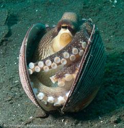 BD-090928-Lembeh-9284855-Amphioctopus-marginatus-(Iw-Takia-1964)-[Coconut-octopus].jpg